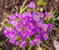 purpurowe krokusy Obraz Stock