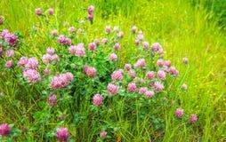 Purpurowe kwiatonośne koniczyn rośliny od zakończenia Zdjęcie Royalty Free