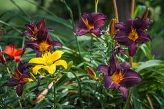 Purpurowe leluje kwitnie w ogródzie Zdjęcie Royalty Free