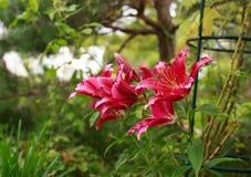 Purpurowe leluje w ogródzie Zdjęcie Stock