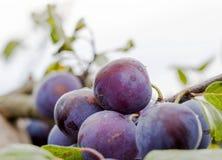 Purpurowe śliwki na drzewie Fotografia Royalty Free