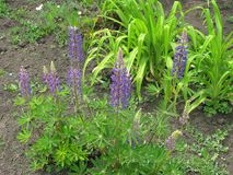purpurowe lupines Obraz Stock