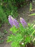 purpurowe lupines Fotografia Royalty Free