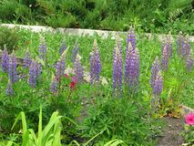 purpurowe lupines Obrazy Royalty Free
