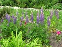 purpurowe lupines Zdjęcia Royalty Free