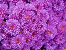 purpurowe mamami Fotografia Stock