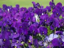 purpurowe mięczaki Zdjęcie Stock