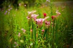 Purpurowe miotacz rośliny, Gruzja stanu ogródy botaniczni Fotografia Royalty Free