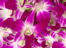 Purpurowe orchidee. Obraz Royalty Free