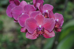 Purpurowe orchidee Fotografia Royalty Free