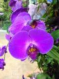 purpurowe orchidee Obraz Royalty Free