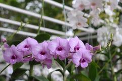 purpurowe orchidee Fotografia Stock