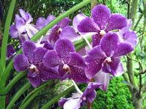 Purpurowe orchidee z białymi punktami Zdjęcia Royalty Free