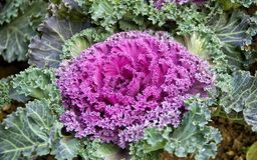 Purpurowe Ornamentacyjne kapust rośliny Zdjęcie Stock