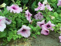 Purpurowe Petunie Fotografia Stock