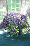 Purpurowe Petunie Obrazy Stock