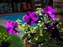 Purpurowe petunie z światła słonecznego obwieszeniem od kokosowego drzewa Zdjęcie Stock