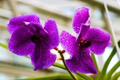 Purpurowe Phalaenopsis lub ćma orchidee i także znać jako księżyc orchidee zdjęcia stock