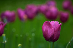 purpurowe polowe tulipany Zdjęcia Stock