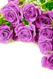 purpurowe róże Zdjęcia Stock