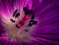 Purpurowe Serce Fotografia Stock