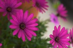 Purpurowe stokrotki Fotografia Royalty Free