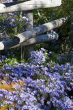 Purpurowe stokrotki wzdłuż ścieżki obrazy stock