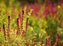 Purpurowe szałwie na zielonym tle Obraz Stock
