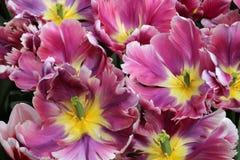purpurowe tulipany żółte Zdjęcia Royalty Free