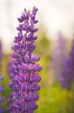 purpurowe łubiny Zdjęcie Stock