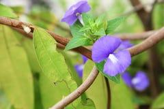 Purpurowego Brazylijskiego wyżlinu piękni kwiaty Zdjęcia Royalty Free