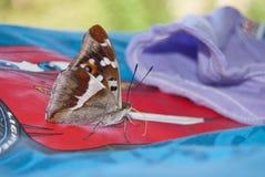 Purpurowego cesarza motyla Apatura irys Obraz Royalty Free