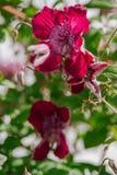 purpurowego Clematis alpina Zdjęcie Royalty Free