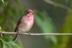 Purpurowego Finch Carpodacus purpureus umieszczał w drzewie zdjęcie stock
