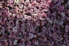 Purpurowego Heuchera hybrydowy obsydian, odgórny widok Jaskrawi liście Heuchera w glasshouse Dekoracyjny ulistnienia tło Zdjęcie Stock