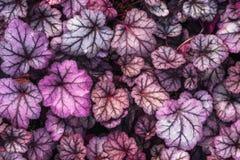 Purpurowego Heuchera hybrydowy obsydian, odgórny widok Jaskrawi liście Heuchera w glasshouse Dekoracyjny ulistnienia tło fotografia royalty free