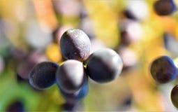 Purpurowego jagodowego tła makro- rozmyty zdjęcia royalty free
