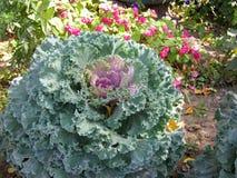 Purpurowego Kapuścianego kwiatu kwiatu Ornamentacyjny dekoracyjny kapuściany Brassica lub kale kwiat Zdjęcie Stock
