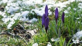 Purpurowego krokusa Europe śnieżny zbliżenie Obrazy Royalty Free