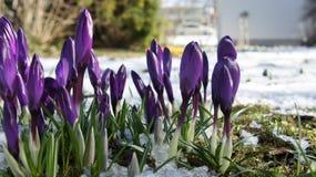 Purpurowego krokusa Europe śnieżny zbliżenie Zdjęcia Royalty Free