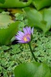 Purpurowego Lotosowego kwiatu i Lotosowego kwiatu rośliny Obraz Royalty Free