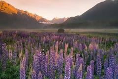 Purpurowego lupine kwiatu pełny kwiat z halnym tłem, Nowa Zelandia Zdjęcie Royalty Free