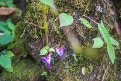 Purpurowego Orchid/tajlandzki kwiat, Tajlandzka orchidea/ Fotografia Royalty Free