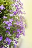 Purpurowego paniusi ` s rakiety kwiatu hesperis drzewni matronalis obrazy stock