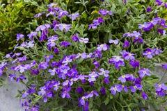 Purpurowego paniusi ` s rakiety kwiatu hesperis drzewni matronalis zdjęcia stock