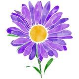 Purpurowego stokrotka kwiatu wektorowa ilustracja z akwareli tekstur? obrazy stock