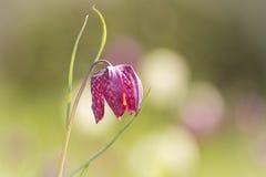 Purpurowego węża fritillary kierowniczy kwiat Zdjęcia Royalty Free
