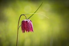 Purpurowego węża kierowniczy fritillary Fotografia Stock