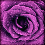 Purpurowego zmroku różany tło Fotografia Royalty Free