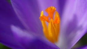 Purpurowej śnieżyczki makro- strzał Zdjęcia Stock